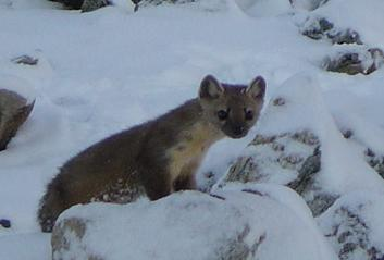 our greeter at bonney pass, that little weasel!